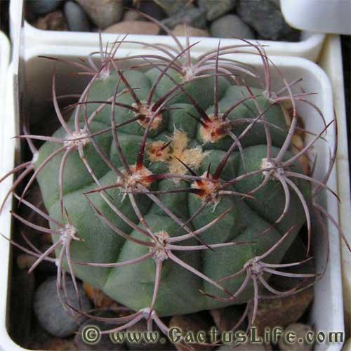 Виды кактусов  Комнатные растения и цветы Как определить